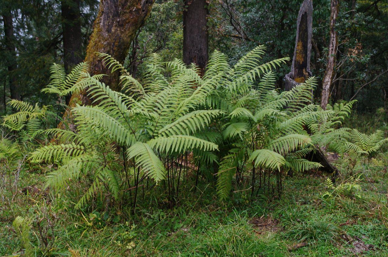 pteris wallichiana semi evervgreen 15c ferns underplanting pinterest fern plants and. Black Bedroom Furniture Sets. Home Design Ideas