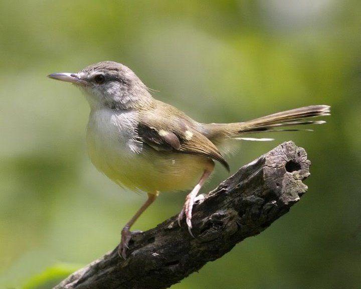 Tips Cara Merawat Burung Ciblek Agar Cepat Berkicau Gacor World Birds Bird Species Bird