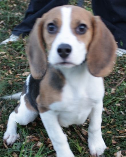 Bella 4 Month Old Female Beagle Available For Adoption Beagle