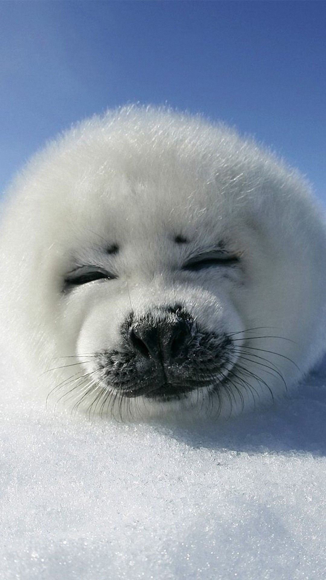 Cute Animal Wallpaper Ios In 2020 Seal Pup Cute Animal Pictures Baby Seal