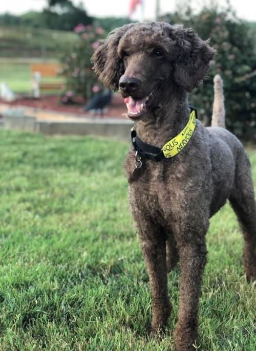 Adopt Rafiki On Petfinder In 2020 Poodle Rescue Dog Adoption Ship Dog
