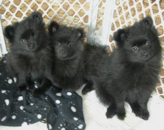 black pomeranian | Adorable Black Pomeranian Puppies ...