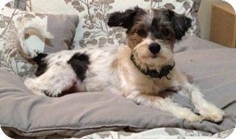 Worcester Ma Lhasa Apso Shih Tzu Mix Meet Kip A Dog For