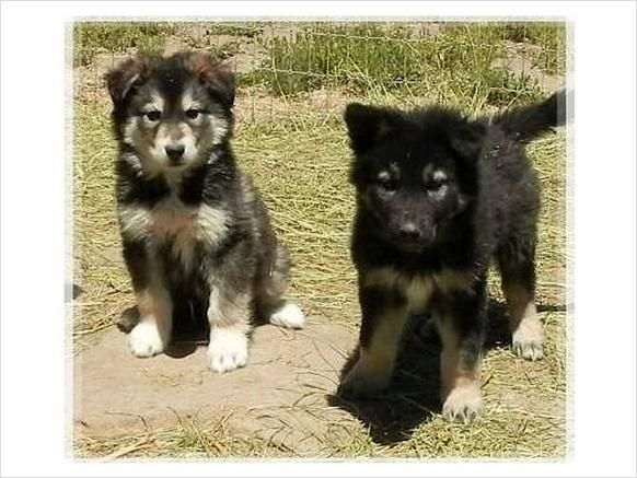 Wolf Husky Pups In California Northern Ca Wolf Dog Hybrid Cubs