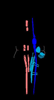 Diagram of the brainstem motor speech disorders pinterest diagram of the brainstem ccuart Choice Image