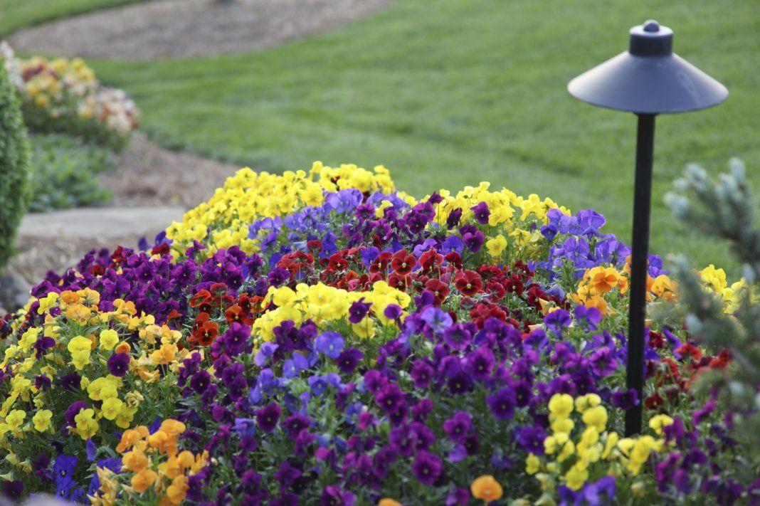анютины глазки цветы фото клумбы нас