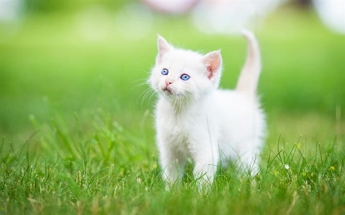 Download wallpapers Turkish Angora, 4k, kitten, pets, cute