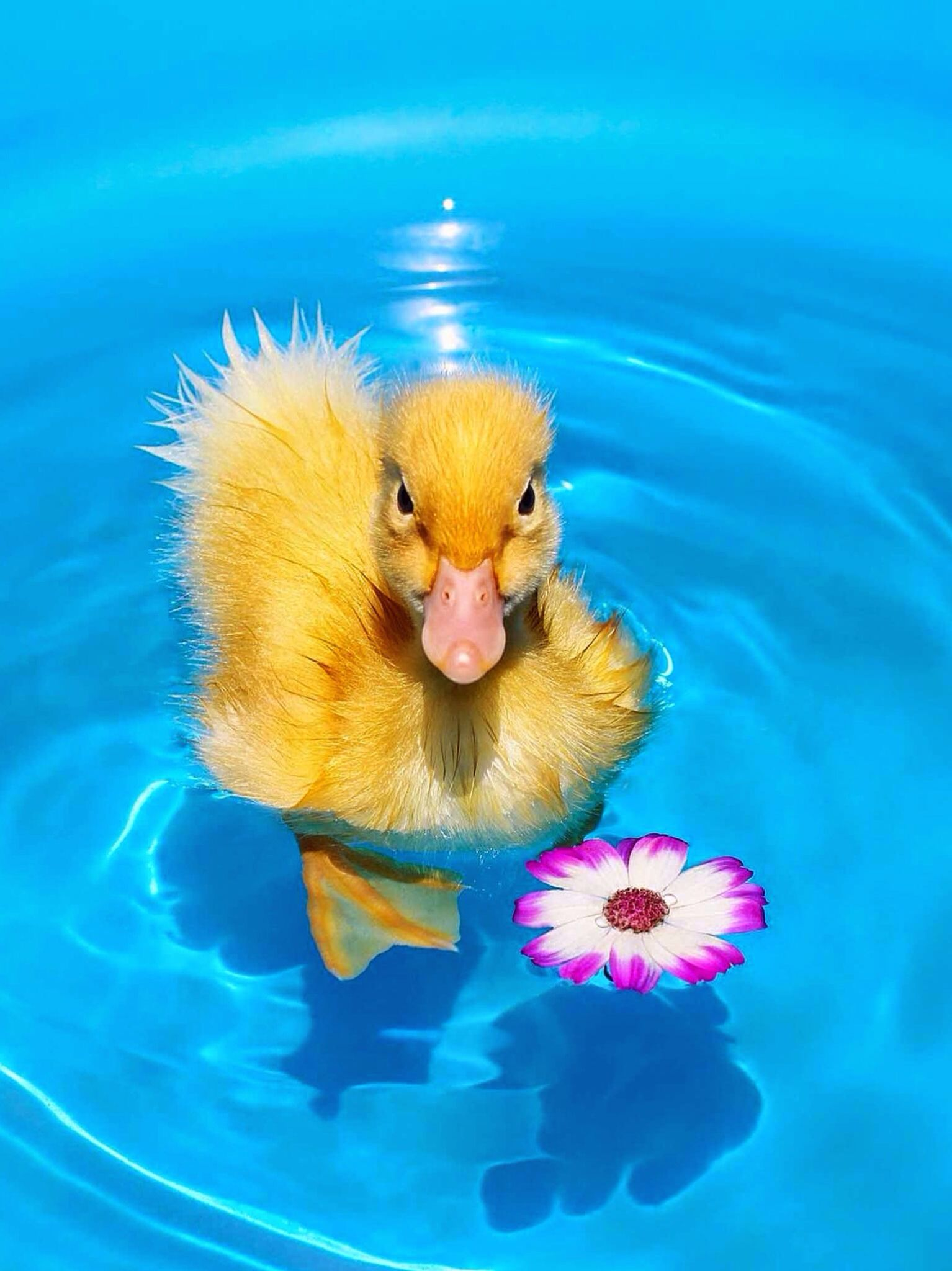 Cute baby duck (With images) Pet chickens, Ducklings