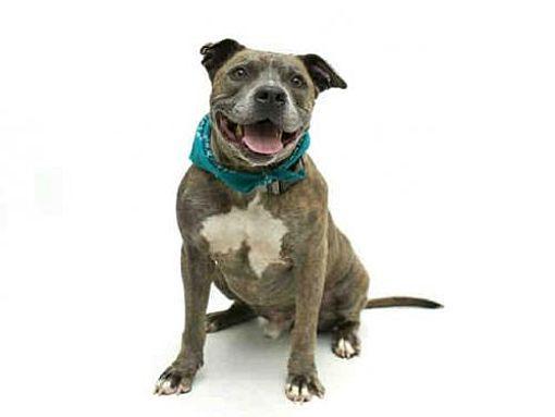 Pin By Ed Nyquist On Puppy Pitbull Terrier Pitbulls Bull