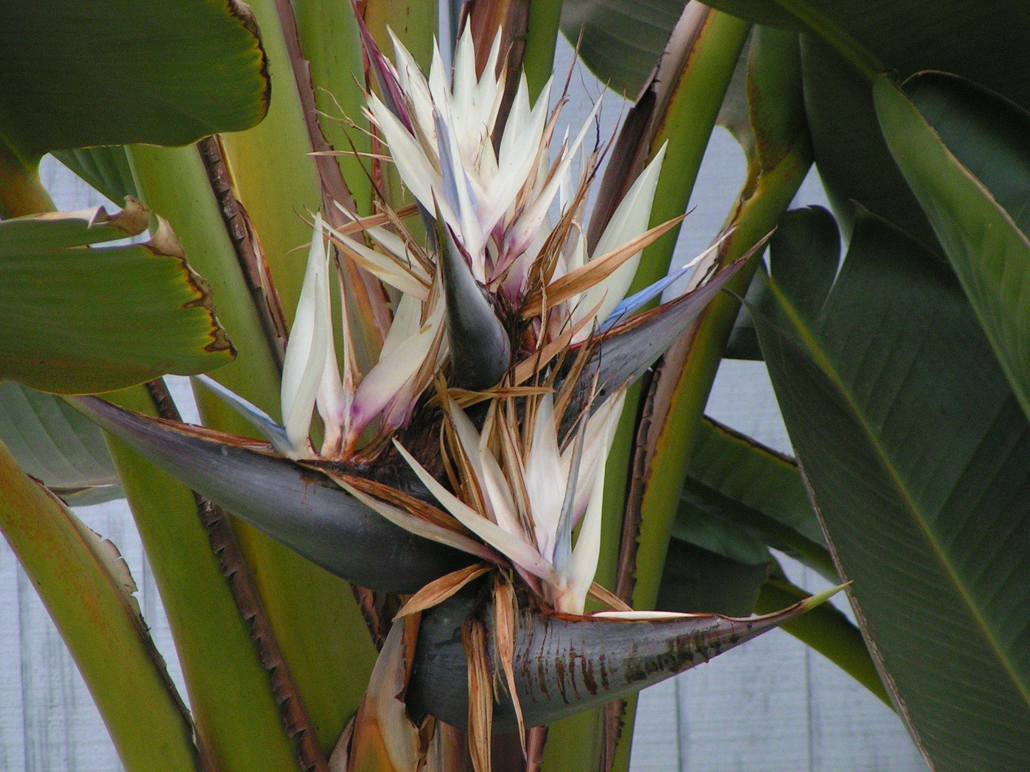 Strelitzia Nicolai Giant Bird Of Paradise Wild Strelitzia Hardy To 30 Degrees Full Sun To Part Paradise Flowers Birds Of Paradise White Background Images