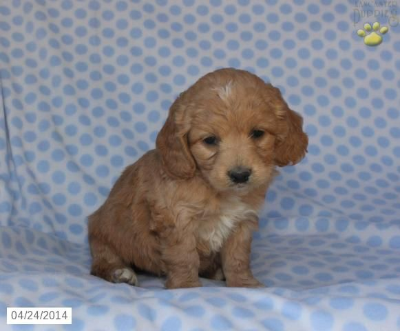 Fancy Cockapoo Puppy For Sale In Tipp City Oh Cockapoo