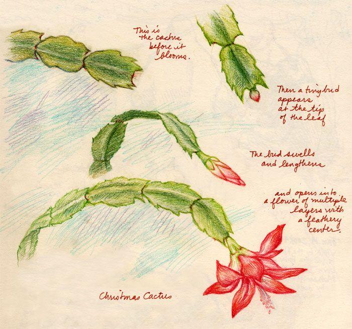 Christmas Cactus | Christmas cactus, Cactus, Easter cactus