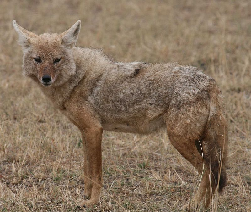 [ Wolf Species ] The African Golden Wolf Wolf Facts