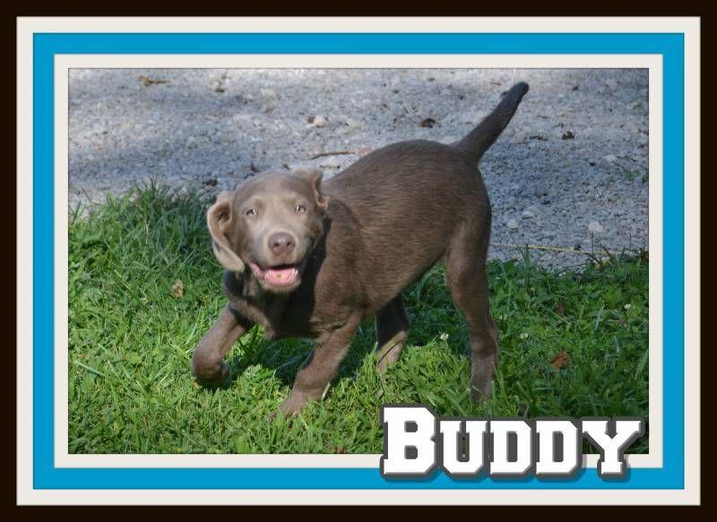Buddy Akc Male Labrador Retriever 600 Labrador Retriever Labrador Retriever