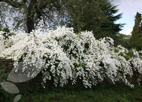 exochorda macrantha 39 the bride 39 shrub growing flowers. Black Bedroom Furniture Sets. Home Design Ideas
