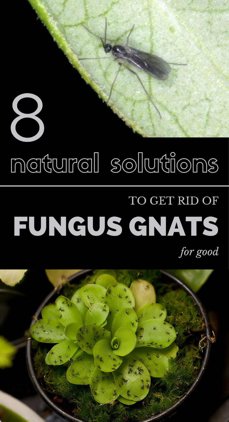 32f163c6c26f9820cf9b83e6f13efb44 - How To Get Rid Of Small Gnats In Plants