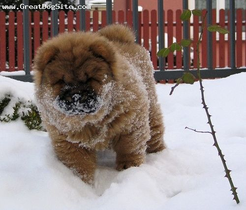 Chow Chow My Chow Loved To Run And Play In The Snow And Would