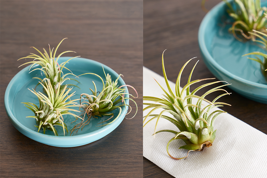 Tillandsia Care How To Water Air Plants Correctly