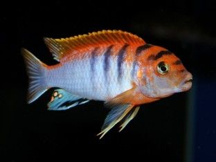 Labidochromis Sp Hongi Super Red Top Malawi Cichlids Lake Malawi Cichlids Cichlids