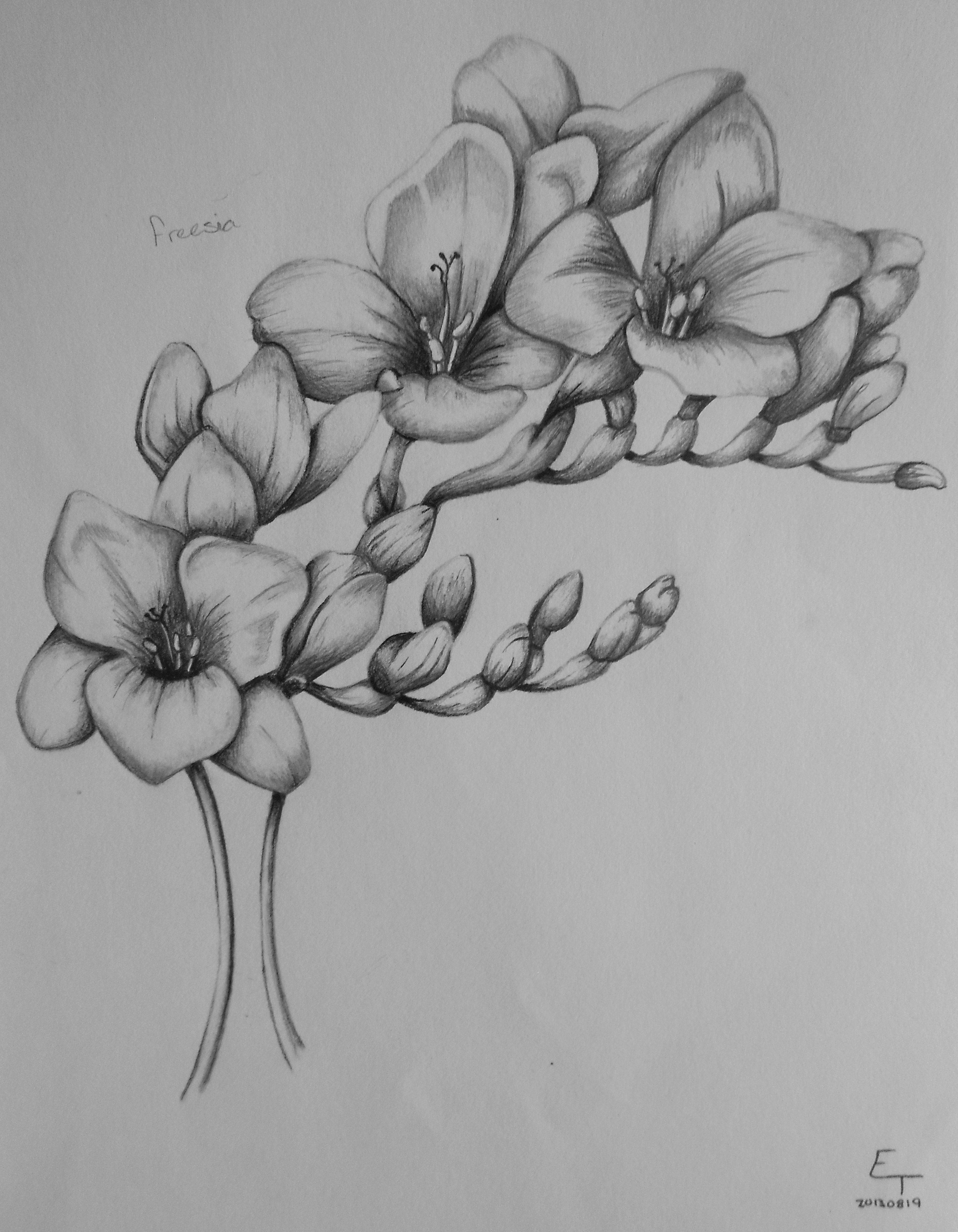 Freesia Flower Drawing August 19 2013 Flower Tattoos Flower Drawing Nature Tattoos