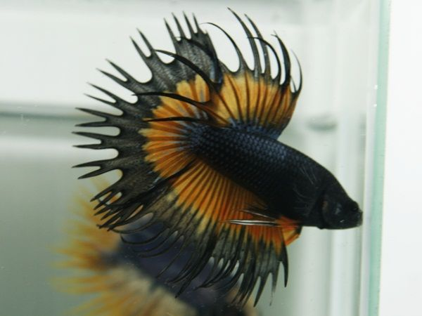 Black king crowntail betta aquarium life marine and for Best place to buy betta fish