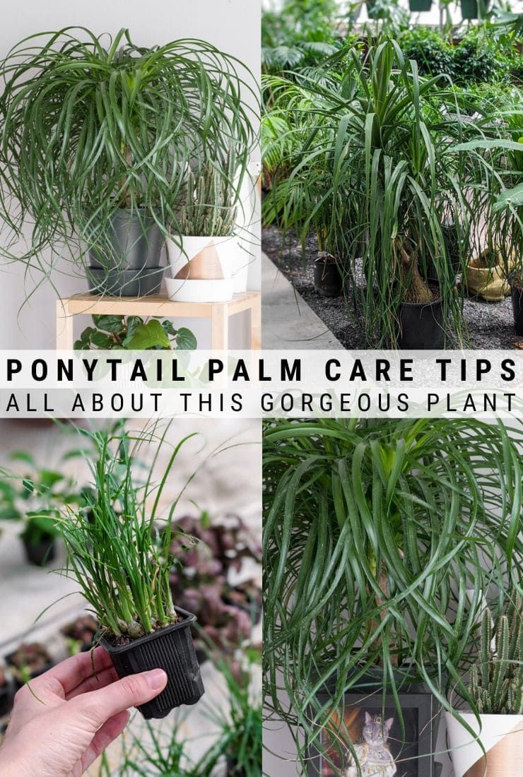 How to care for a ponytail palm everything you need to