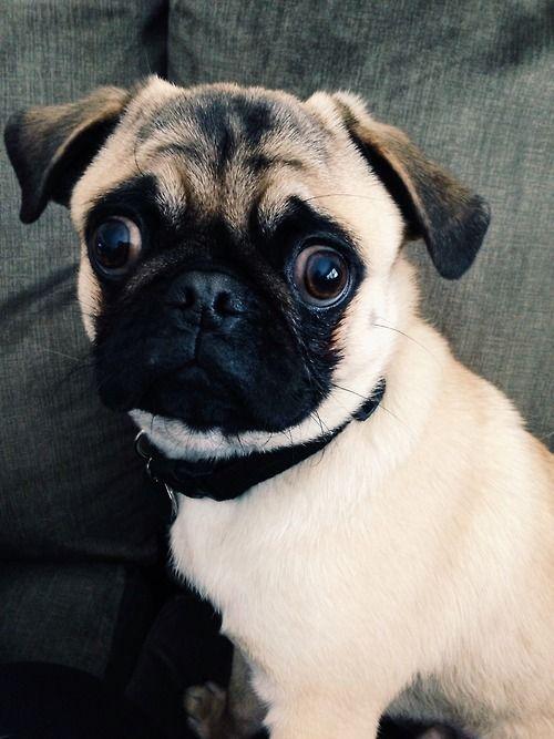 4 Tumblr Cute Pugs Pugs Cute Pug Pictures