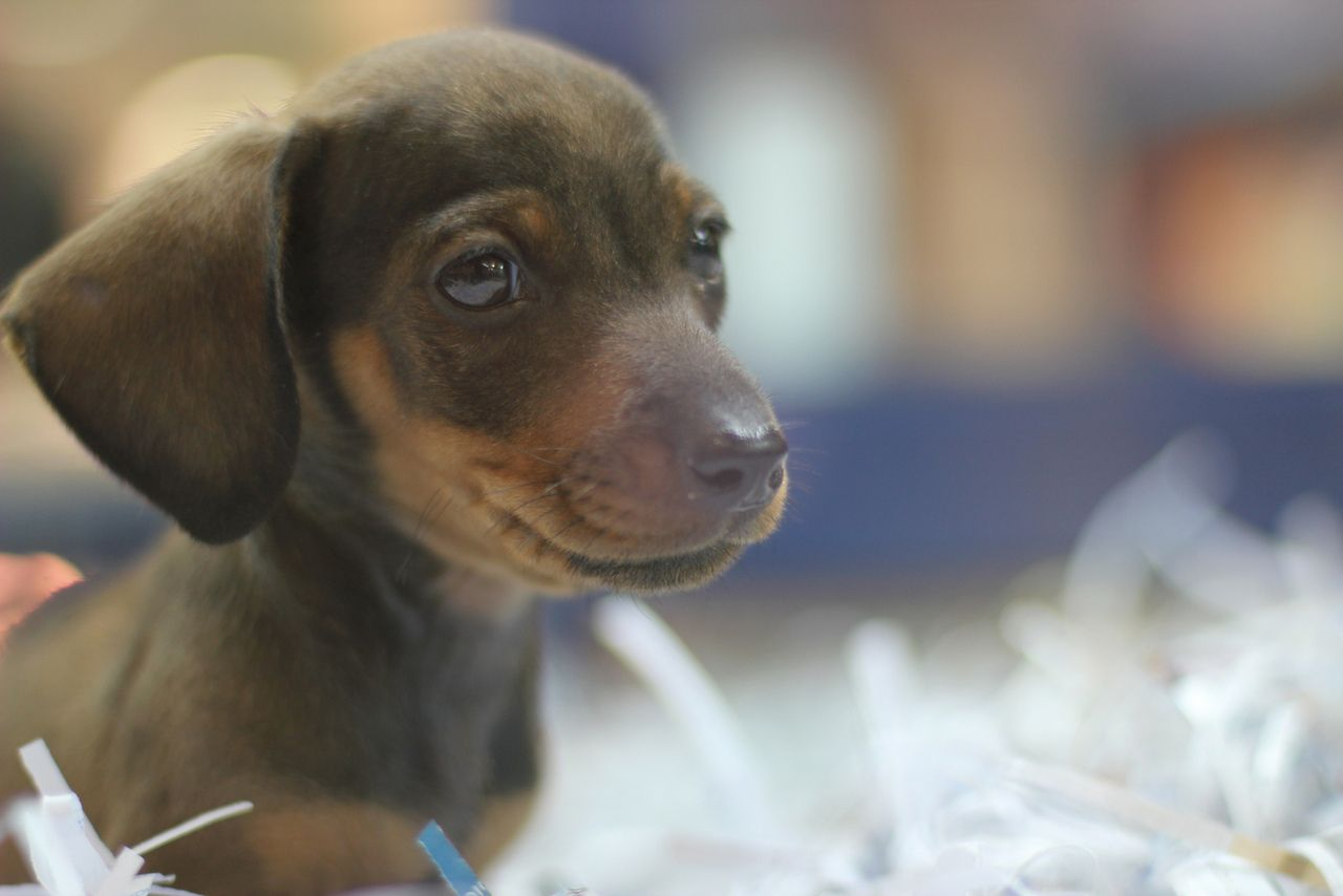 Doxie Dachsund Cute Puppy Puppy Braves Mall In Last Minute Gift