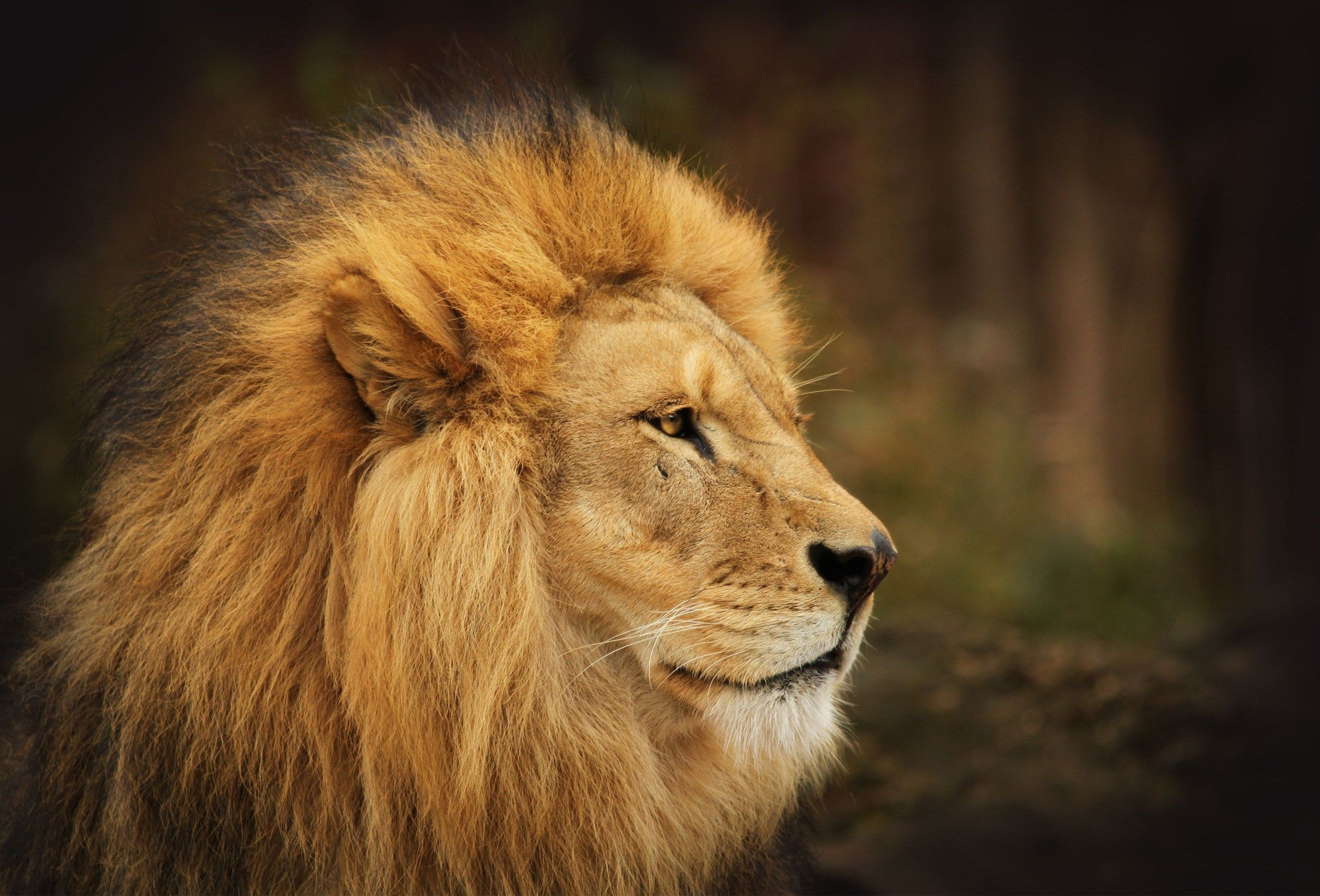 2480x1684 wallpapers free lion (With images) Lion