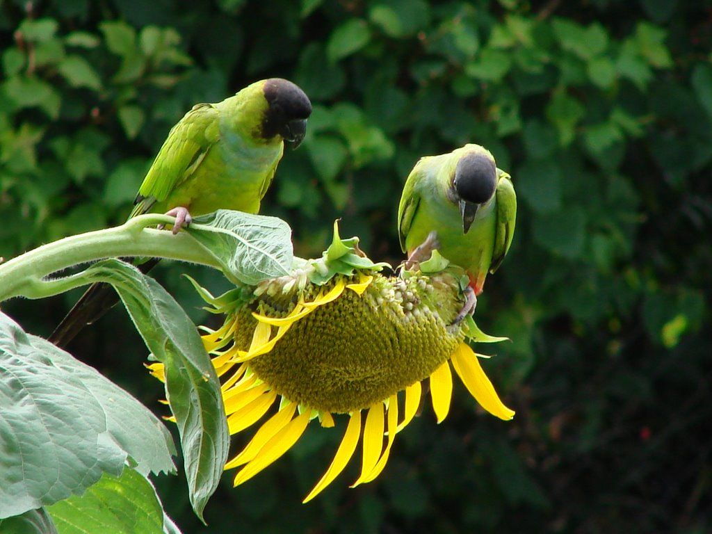 **birds eating sunflower seeds** - sunflower-seeds Photo