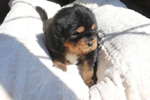 Litter Of 6 Tibetan Mastiff Puppies For Sale In Sheffield Lake Oh