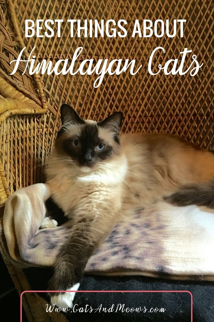 Best Things About Himalayan Cats Himalayan cat, Cat