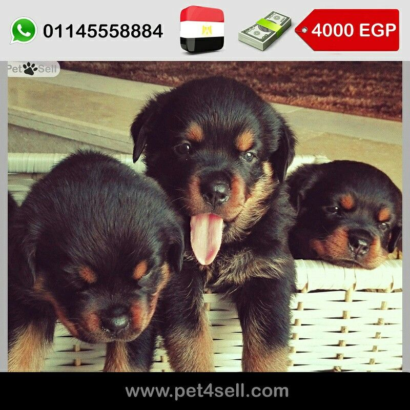 Egypt New Cairo 2 Month Rottweiler Females Puppies For Sale For
