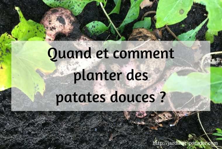 comment planter des patates douces conseils pour r ussir leur culture la patate douce. Black Bedroom Furniture Sets. Home Design Ideas