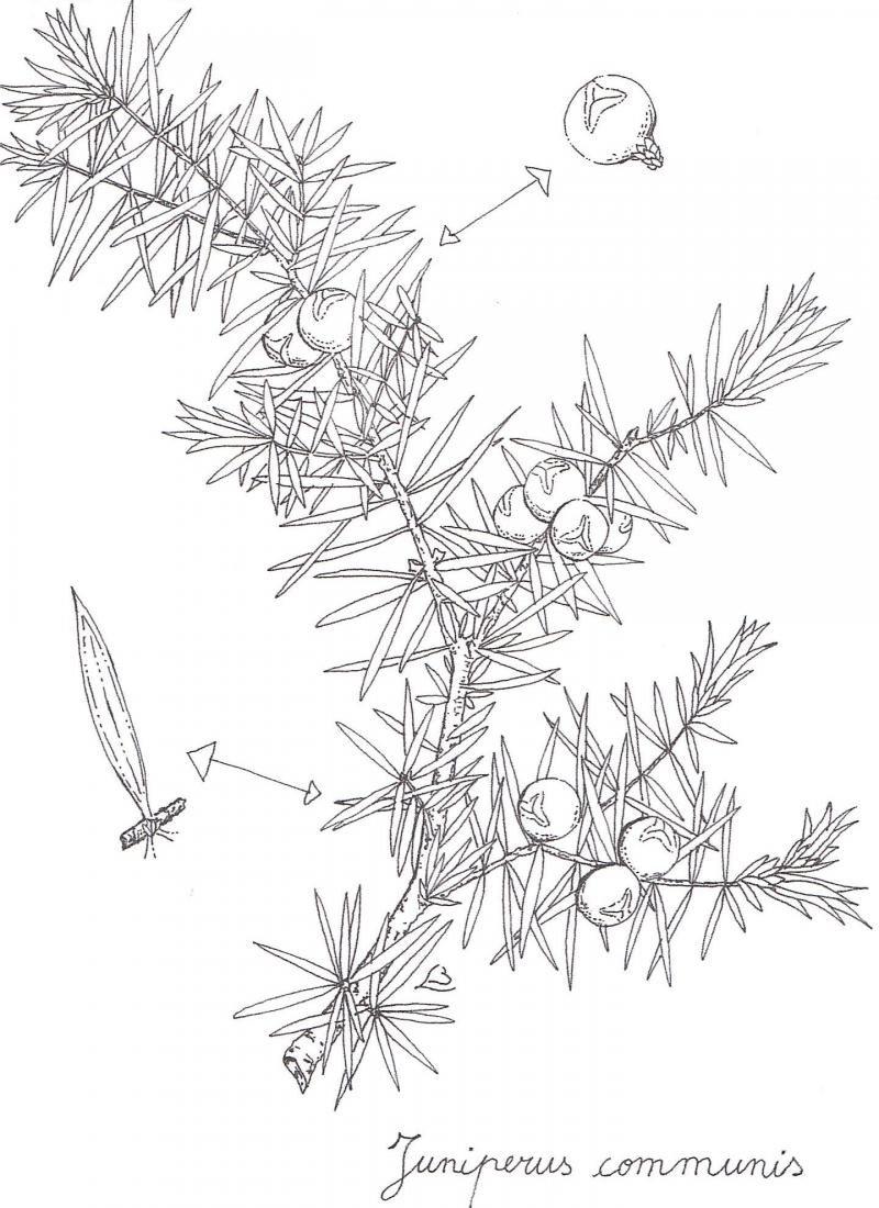 6474326549a10 juniper berries drawing - Google Search | label illustration ...