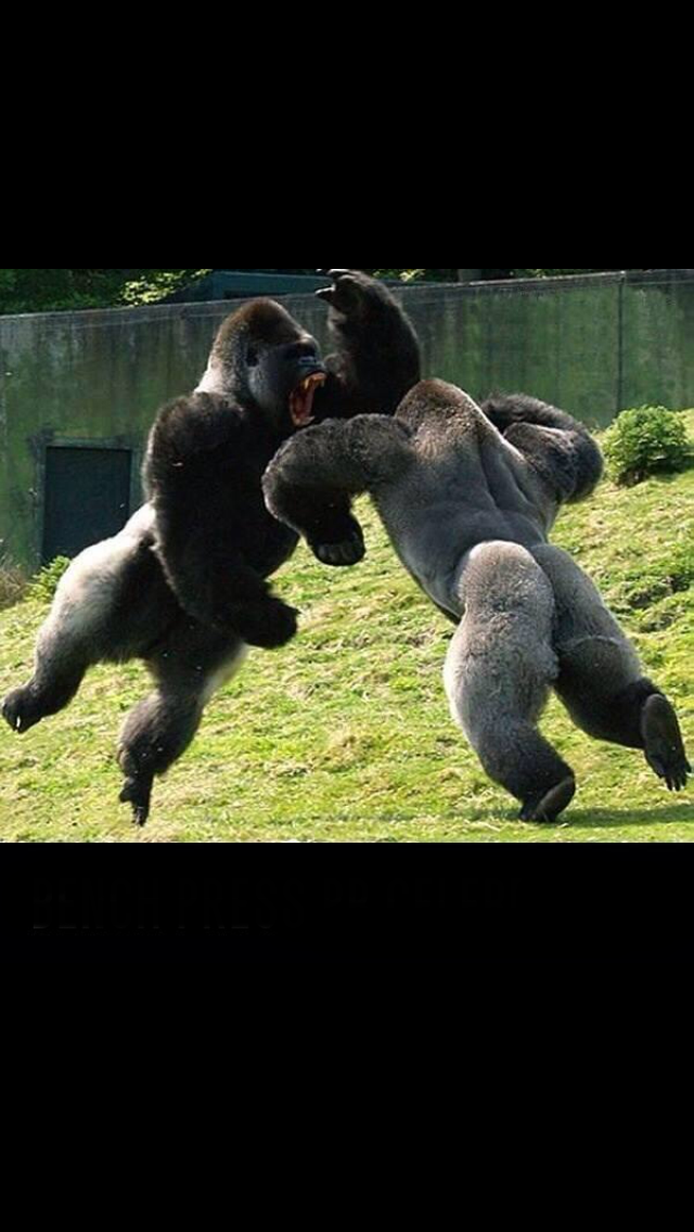 Bench Press Pb Celebration Gorilla Style Animals Dinosaur Stuffed Animal Funny