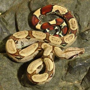 Columbian Red Tail Boa For Sale at Voracious Reptiles
