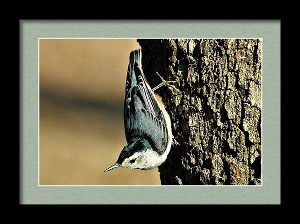 Nature Framed Print featuring the photograph White-breasted Nuthatch On Tree by Sheila Brown