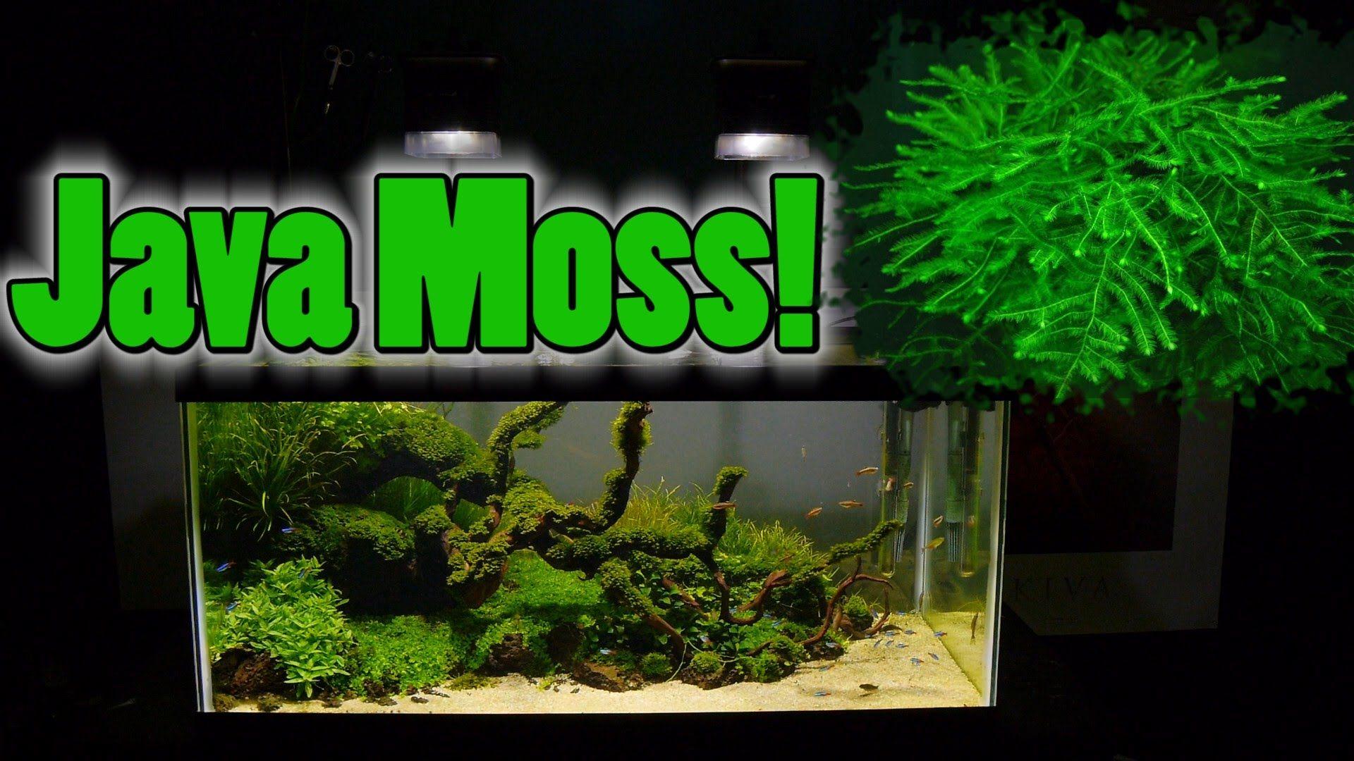How To Grow Aquarium Moss Liverwort Java Moss Part 3 Aquaponics Aquaponics Greenhouse Aquaponics Ecosystem