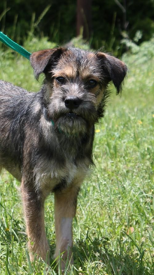 Adopt Mason On Dogs Puppies Animal Rescue Border Terrier