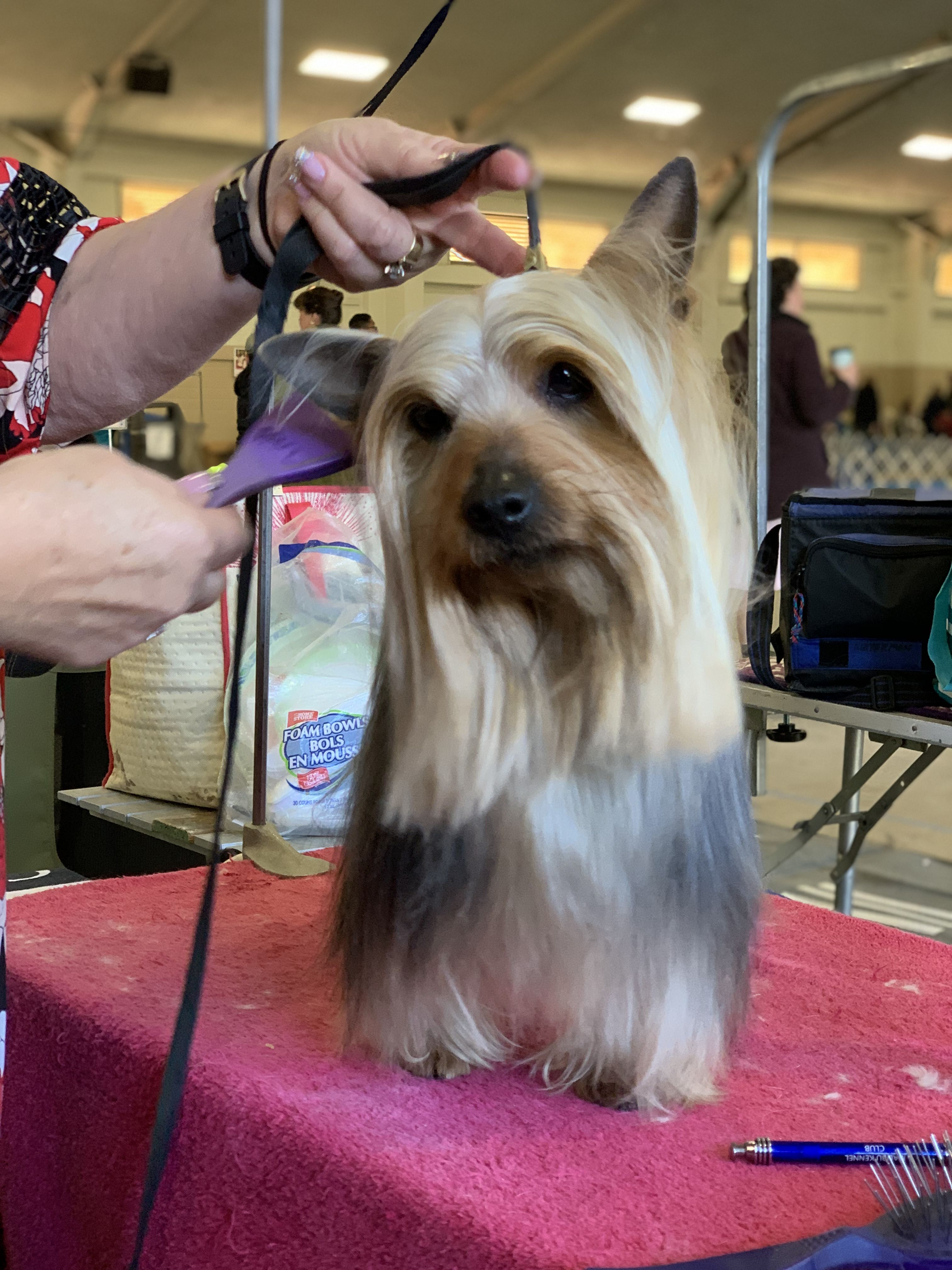Silky Terrier In The Grooming Area Akc All Breed Dog Show Silver Bay Kennel Club Del Mar Ca Silky Terrier Dog Show Silver Bay