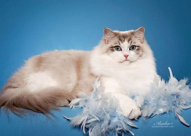 Riterag Ragdolls The Champion Of All Ragdoll Cats