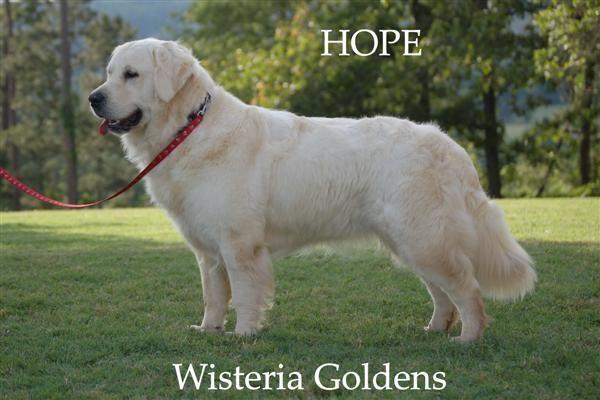 Hope English Golden English Creme Golden Retriever English