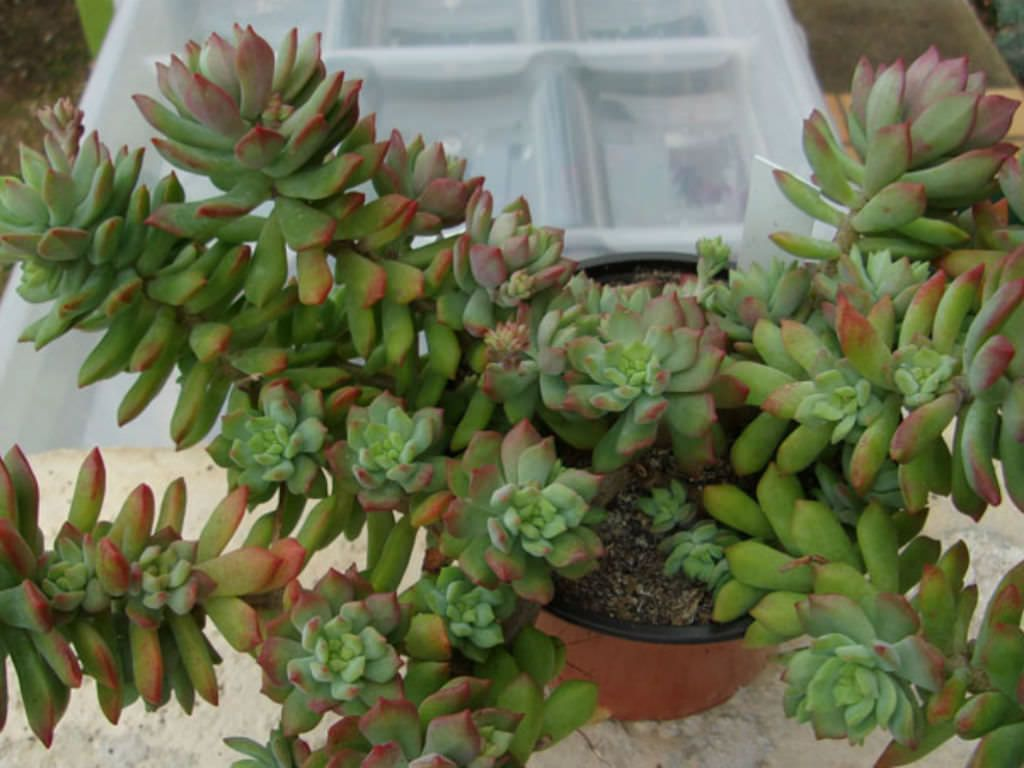 Sedum Cuspidatum Is A Small Branched Succulent Plant With More - Japan is going mad over these tiny succulents that look like bunny ears