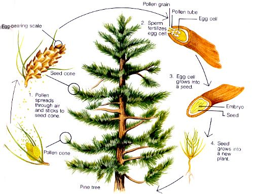 Tree Life Cycle Worksheet | Life Cycles of Conifers | Trees and ...