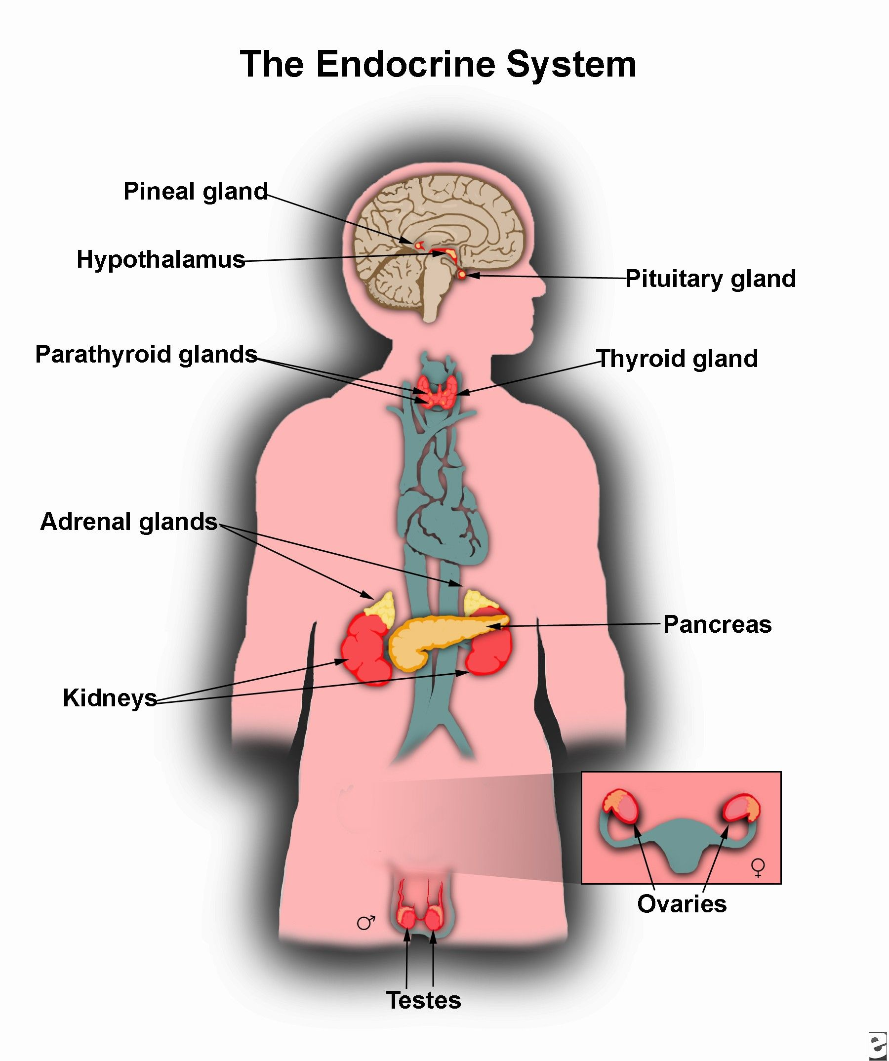Endocrine System Discover The Anatomy And Function Of Glands The Endocrine System Includes All