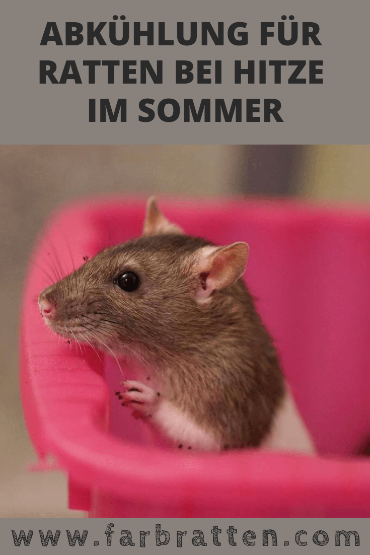 Abkuhlung Fur Farbratten Was Du Gegen Hitze Machen Kannst Farbratten Ratte Hausratten