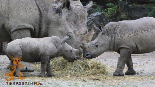 Zwei kleine Nashornbullen lernen sich kennen