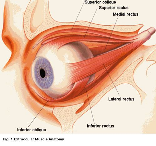 Ocular Anatomy Coloring Book : How the eyeball is attached and connected to brain eyes
