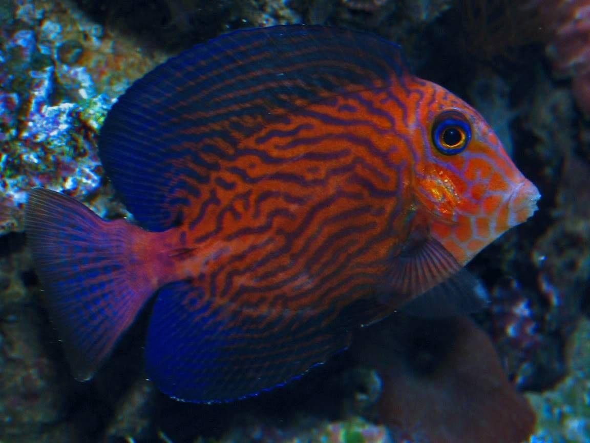 Ctenochaetus hawaiiensis chevron tang the chevron tang for Hawaiian fish names and pictures